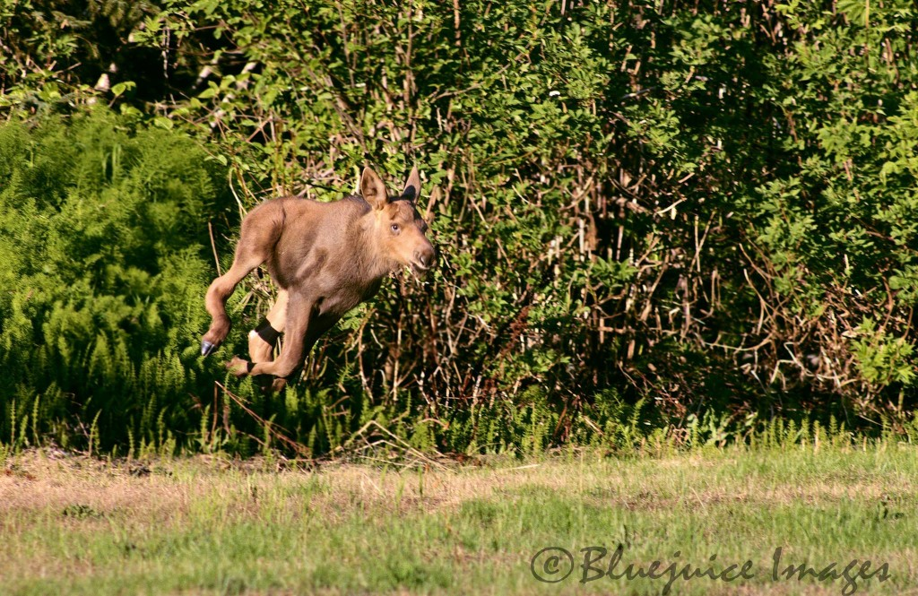 Hovers Moose! Photo By Bluejuice Images