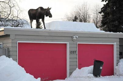 There's A Moose On The Roof! Photo Author Unknown
