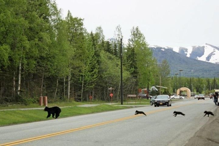Family Of Bears Crosing The Road. Photo Author Unknown