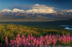 Denali National Park By Ron Niebrugge