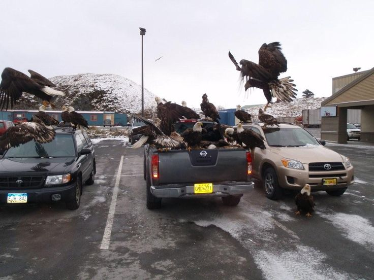 Eagles Paradise - Dont Leave Your Fish In The Truck In Unalaska. Photo Author Unknown