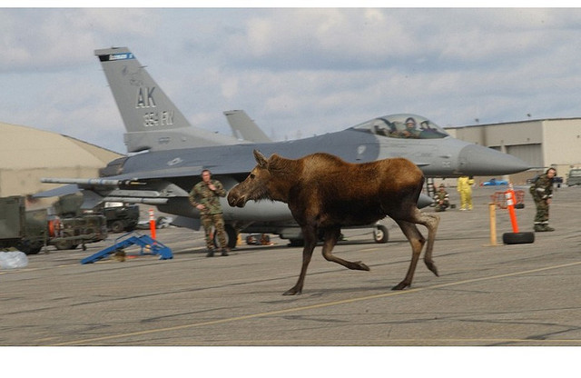 Moose Running On Airstrip - Photo Author Unknown