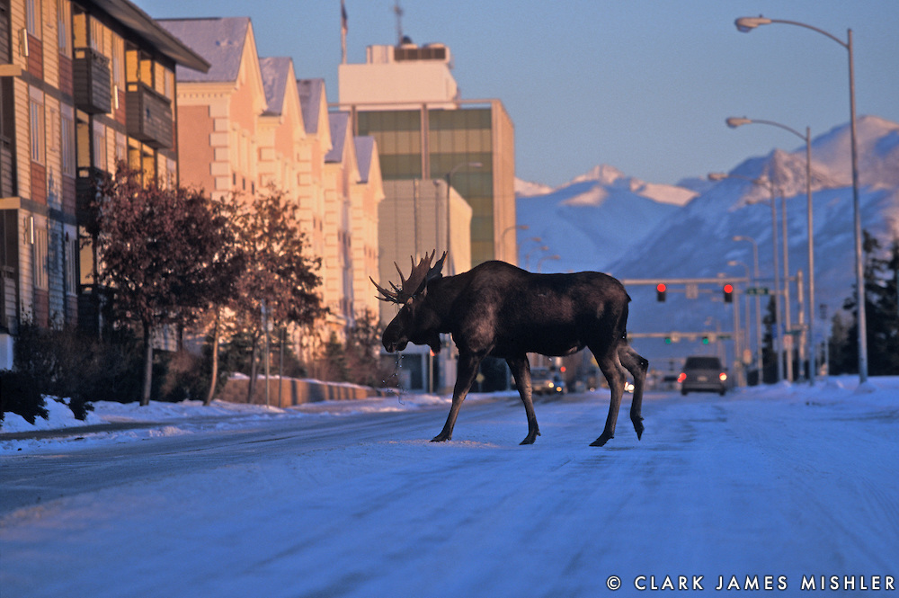 Huge Moose In Anchorage. Photo By Clark James Mishler