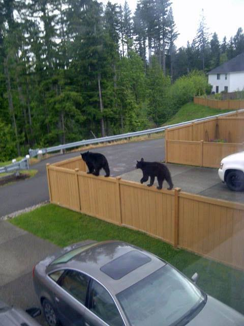 Two Black Bears Walking The Fence! Photo Author Unknown