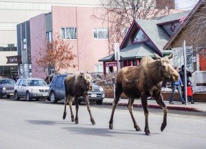 Although This Is Cool To See, Its Still Dangerous! Moose Walking Down Road In Anchorage Near Snowcity Cafe