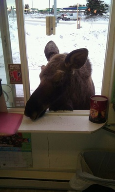 Moose Ordering Coffee. Picture By Unknown
