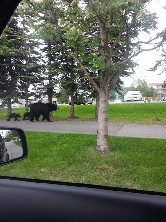 black bears in anchorage by sadie marie