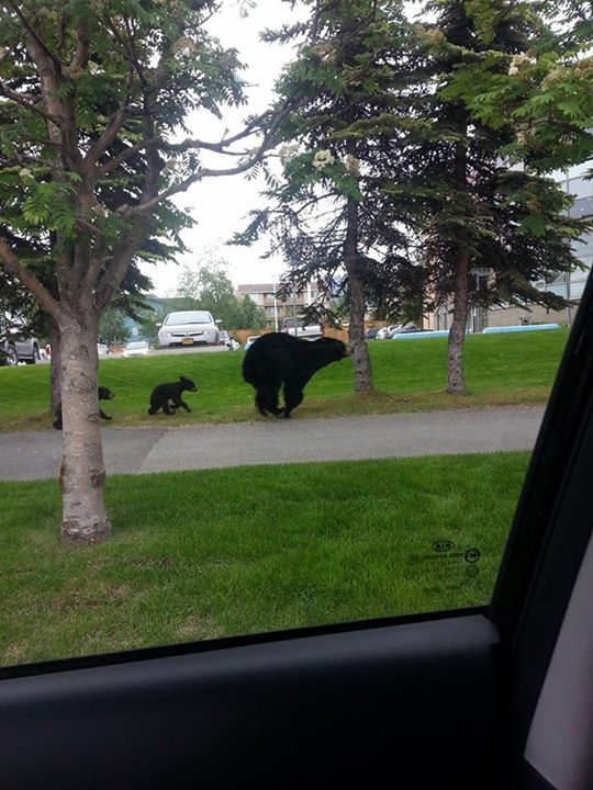 black bears in anchorage by sadie marie2
