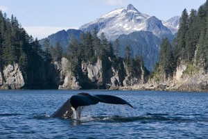 Gray Whale In Seward - Photo By John Hyde