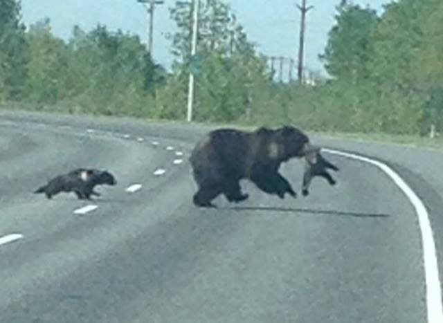 momma bear crossing with cubs