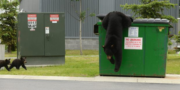 Dumpster Diving Black Bear At UAA- Photo By Bob Hallinen