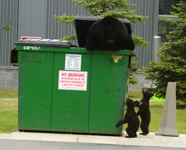 Black Bear With Cubs - Photo By Bob Hallinen