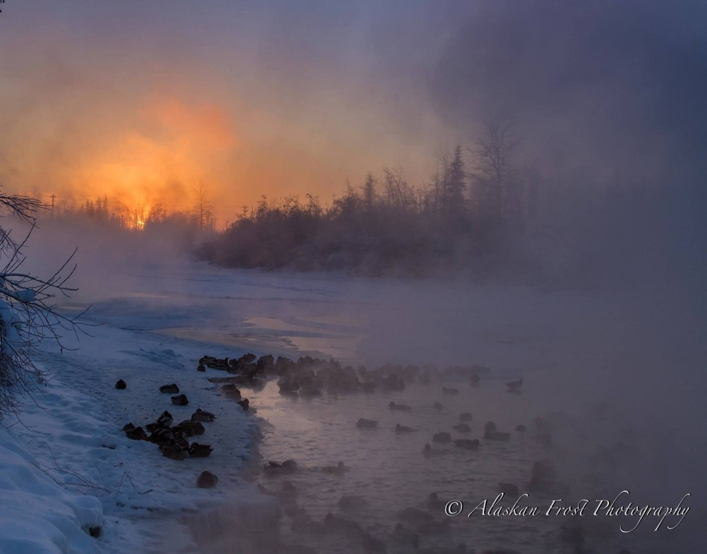 Ducks Enjoying A Warm Spot In Fairbanks By Alaskan Frost Photography