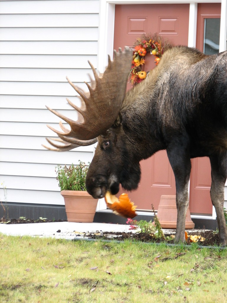 Halloween Brings Out The Moose. Good Luck Keeping Your Pumpkin Around - JBER Moose.