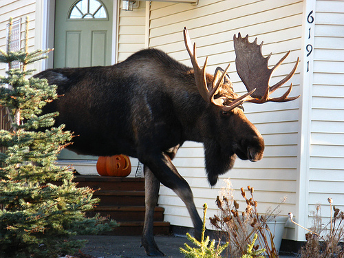 In Alaska, We Have To Beware Of Moose!