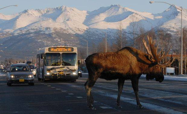 Huge Moose In Anchorage. Photo Author Unknown. 1,336 Likes