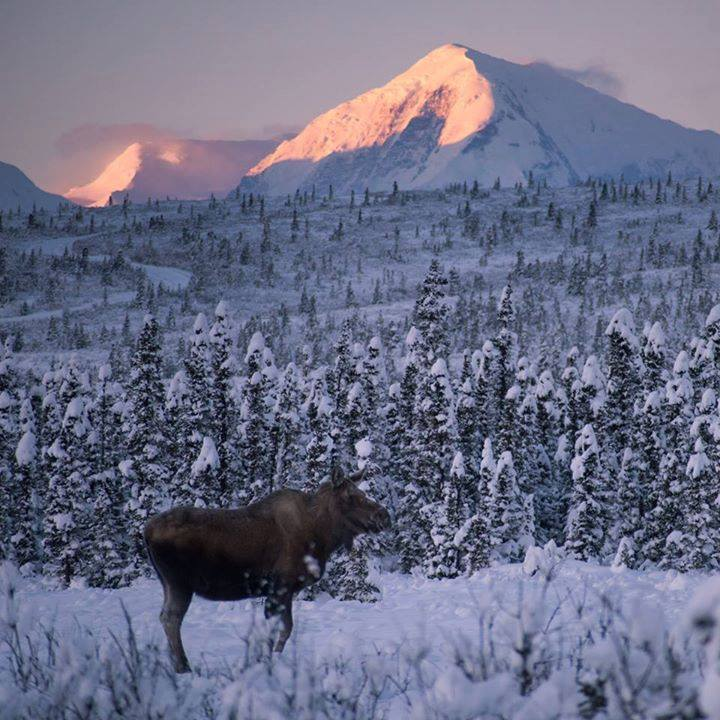 Mt Moffit Moose. Photo By Sebastian Saarloos. 2,283 Likes