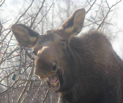 Happy Moose. Photo Author Unknown. 1,193 Likes