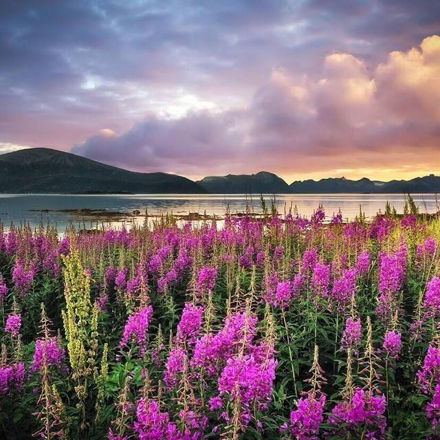 And More Beautiful Fireweed Counting Down Until Winter. Photo Author Unknown. 1,748 Likes