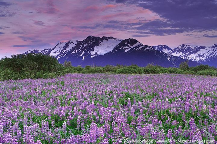 The Incredible Colors Of An Alaskan Summer. Photo By Ron Niebrugge. 1,018 Likes