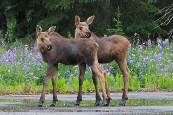 A Pair Of Young Moose Hanging Out In Kenai Alaska. Photo Author Unknown. 602 Likes